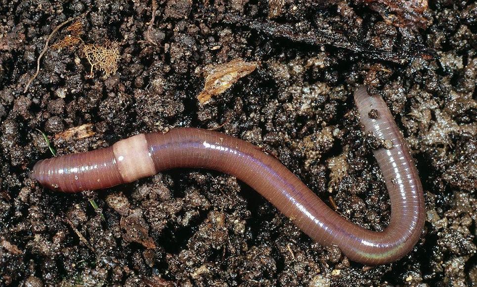 云南蚯蚓有机肥和泥土